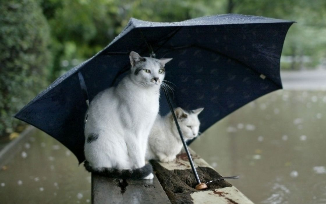 rain cats animals umbrellas wallpaper