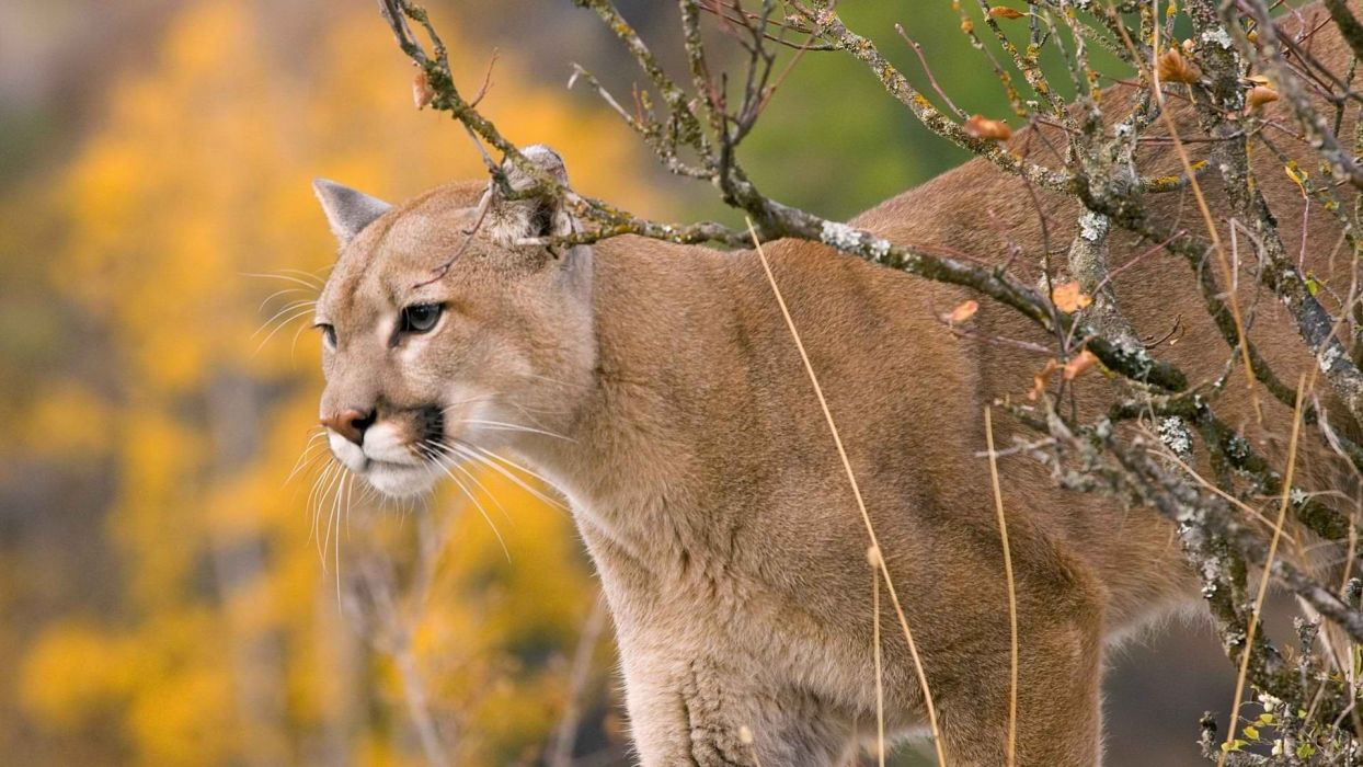 animals cougars wallpaper