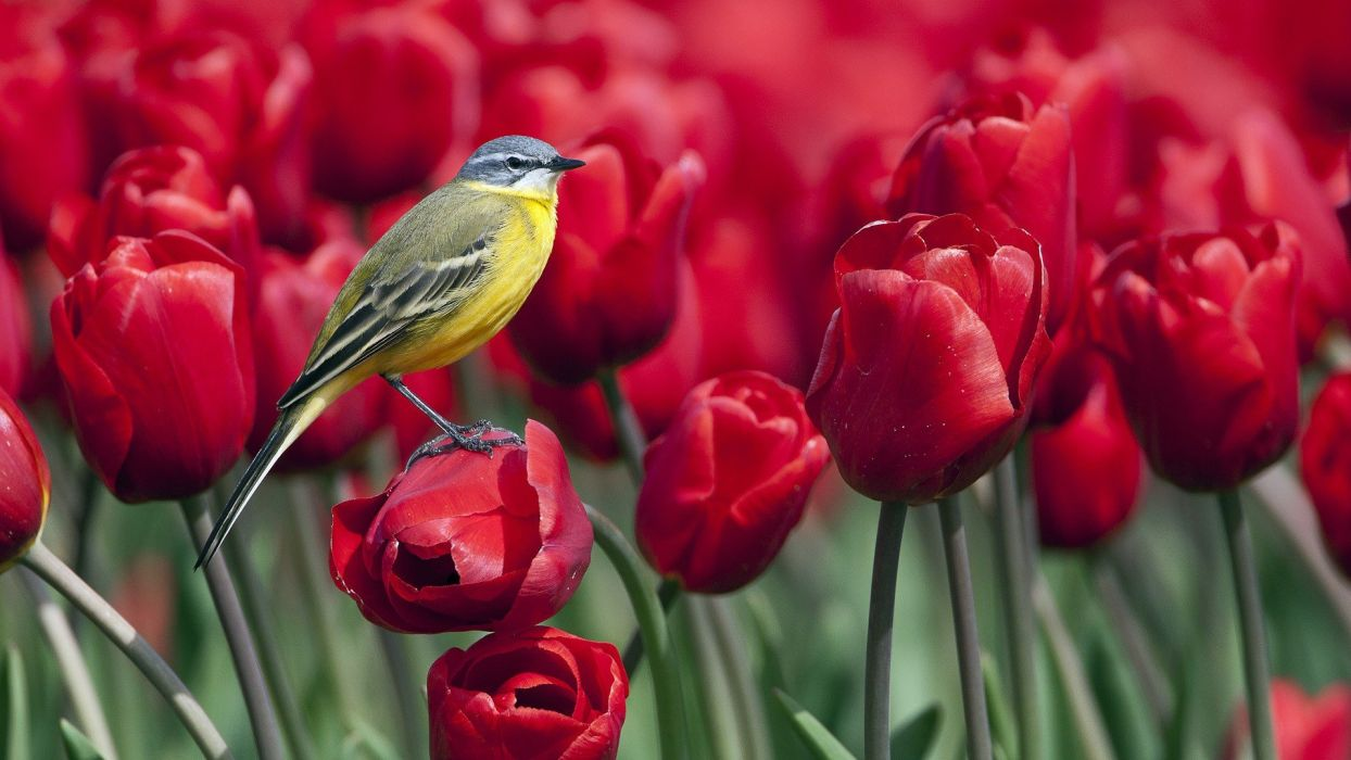 birds tulips red flowers Wagtails wallpaper