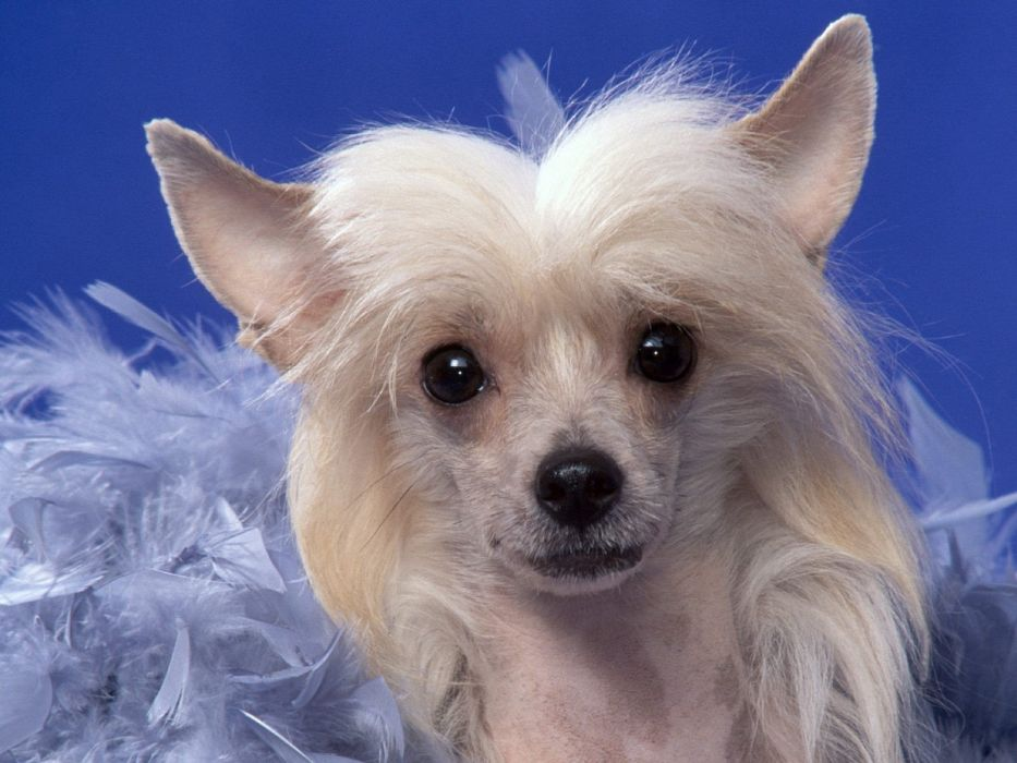 animals dogs chinese crested pyramid wallpaper