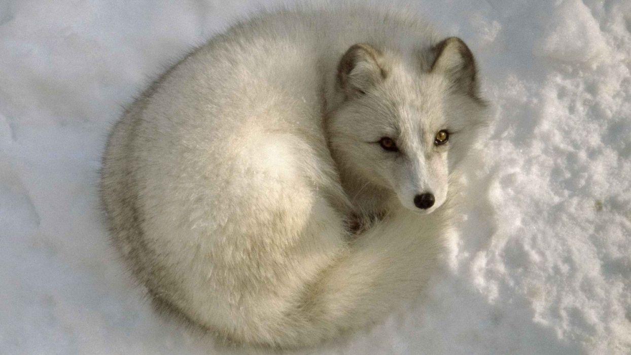 animals arctic fox wallpaper