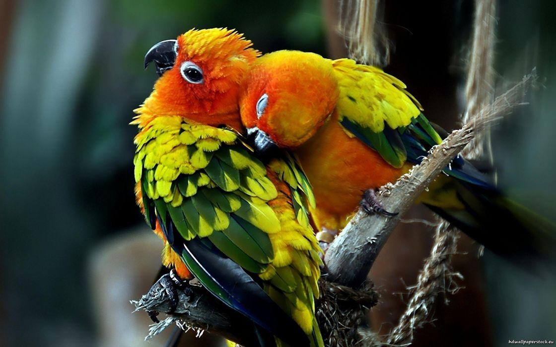 love parrots couple sun conure wallpaper