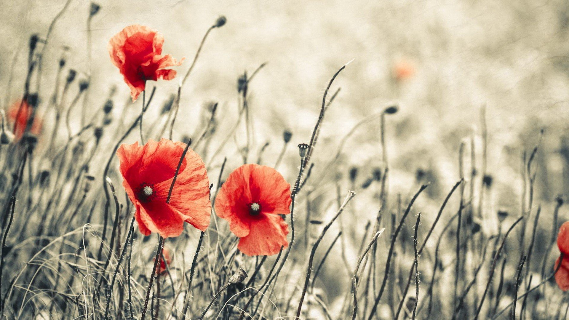 download wallpaper poppies red - photo #20