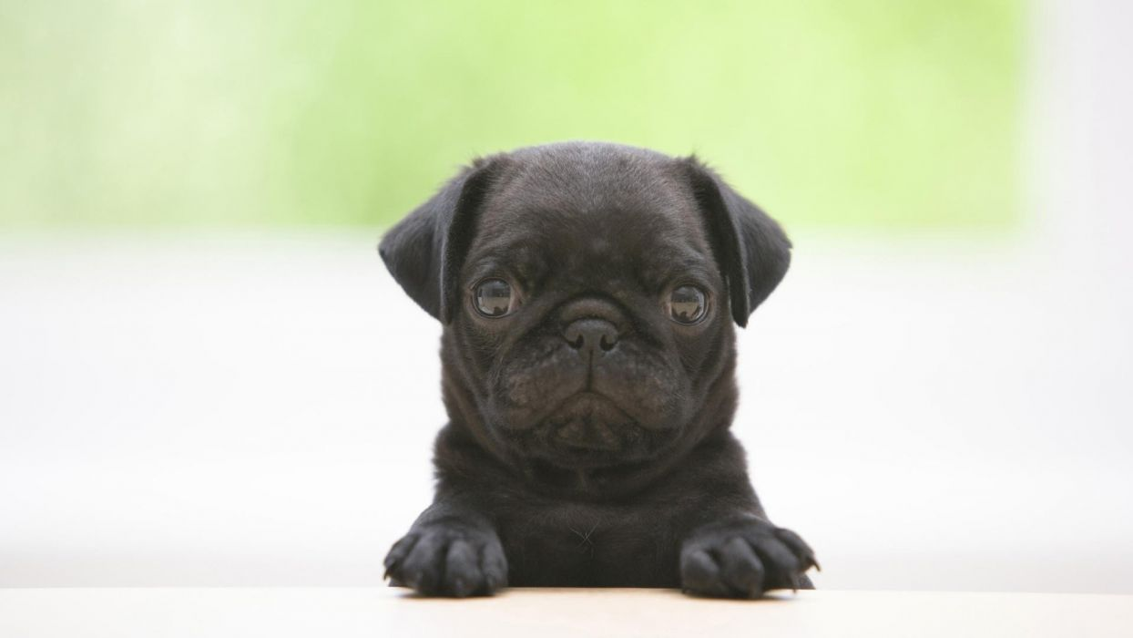 black animals dogs pugs puppies wallpaper