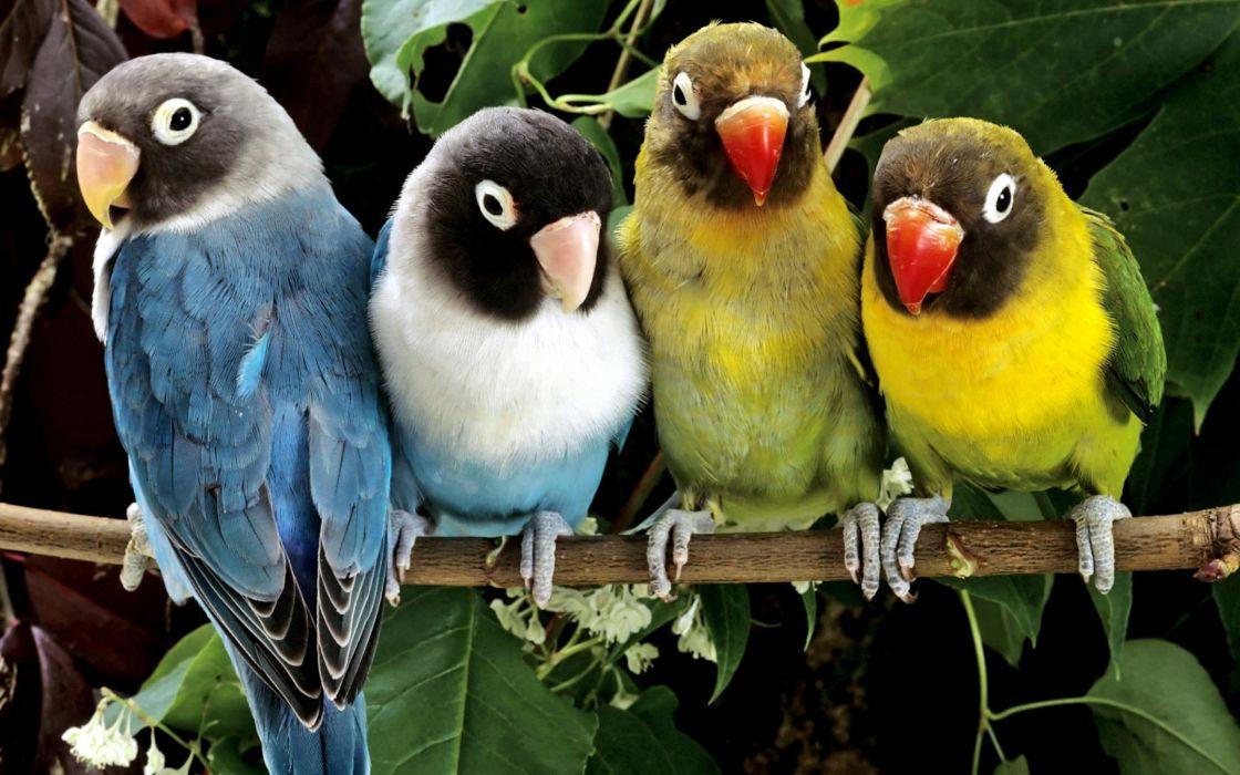 birds animals parrots love bird wallpaper