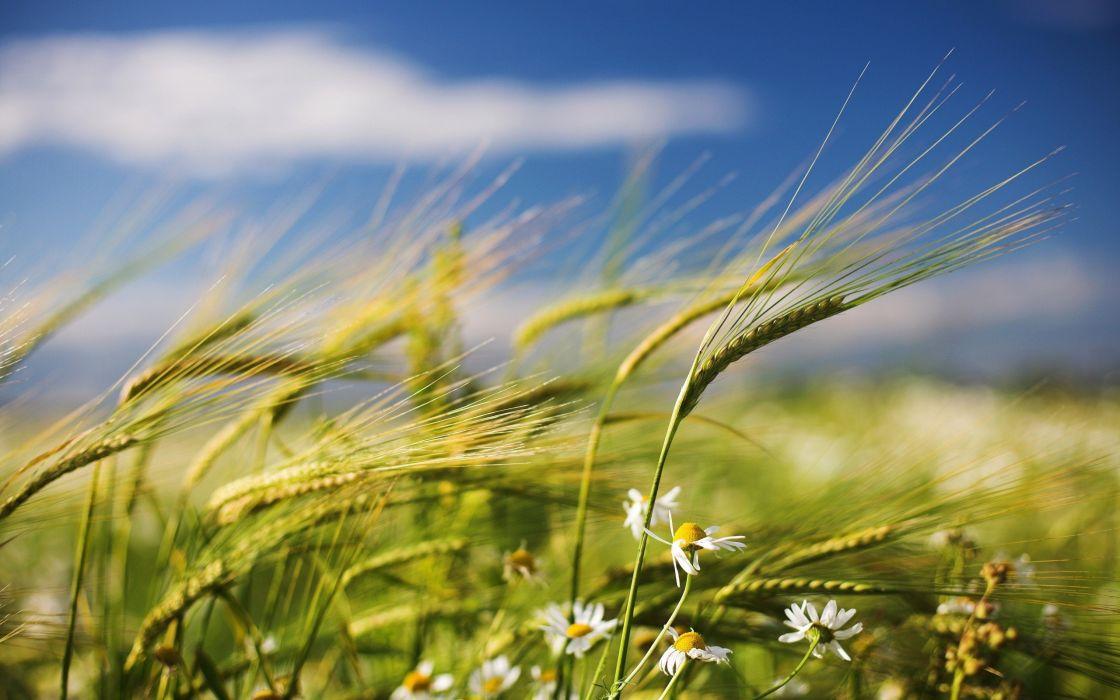 nature flowers fields wheat wallpaper