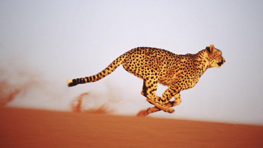 cheetahs Africa aferica wallpaper