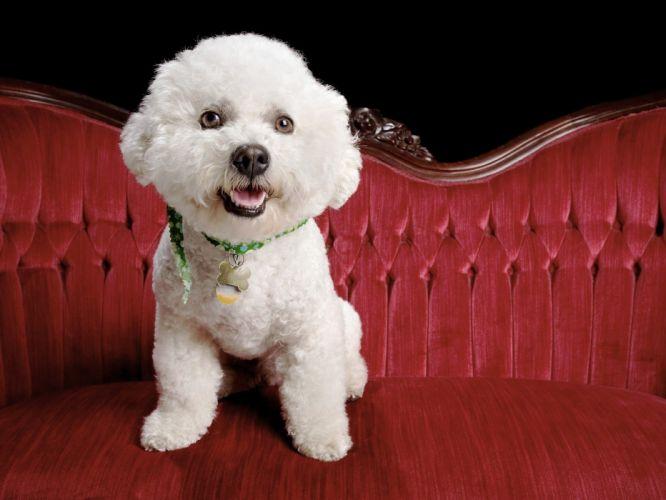 animals dogs bichon frise wallpaper