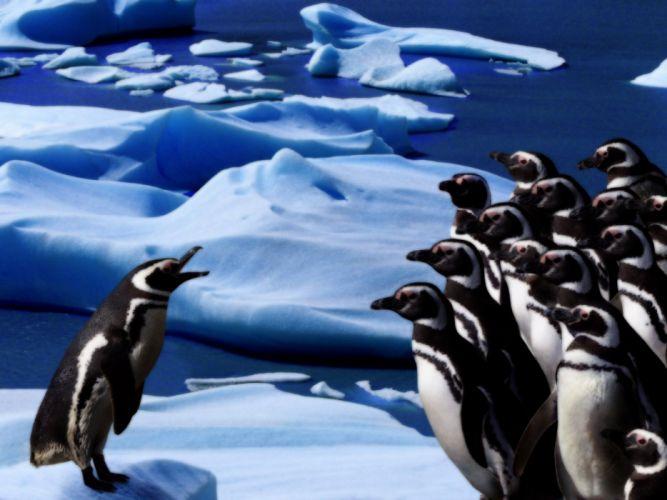 nature birds penguins wallpaper