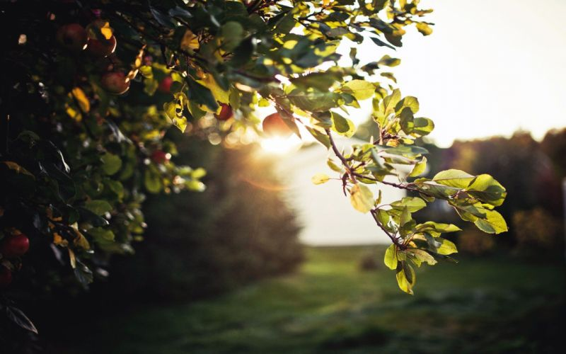 Sun trees sunlight apples fruit trees wallpaper
