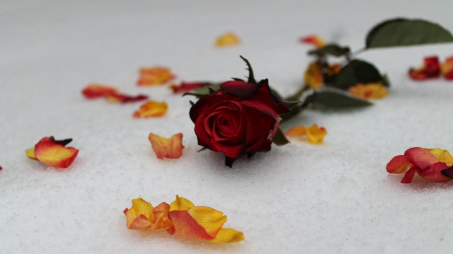 snow flowers leaves roses wallpaper