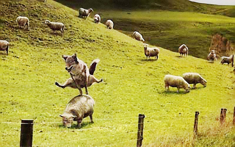 Sheep foxes wallpaper | 1440x900 | 257186 | WallpaperUP
