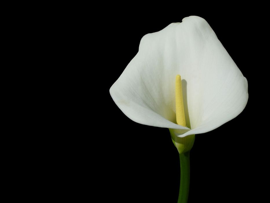 flowers lilies black background white flowers wallpaper