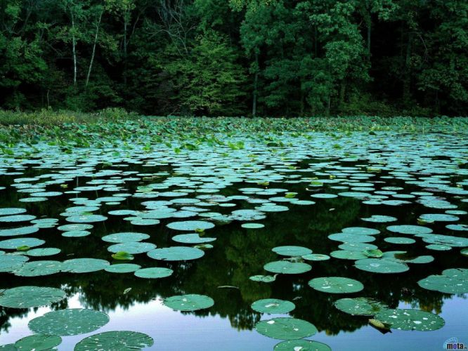 trees lakes lily pads reflections wallpaper