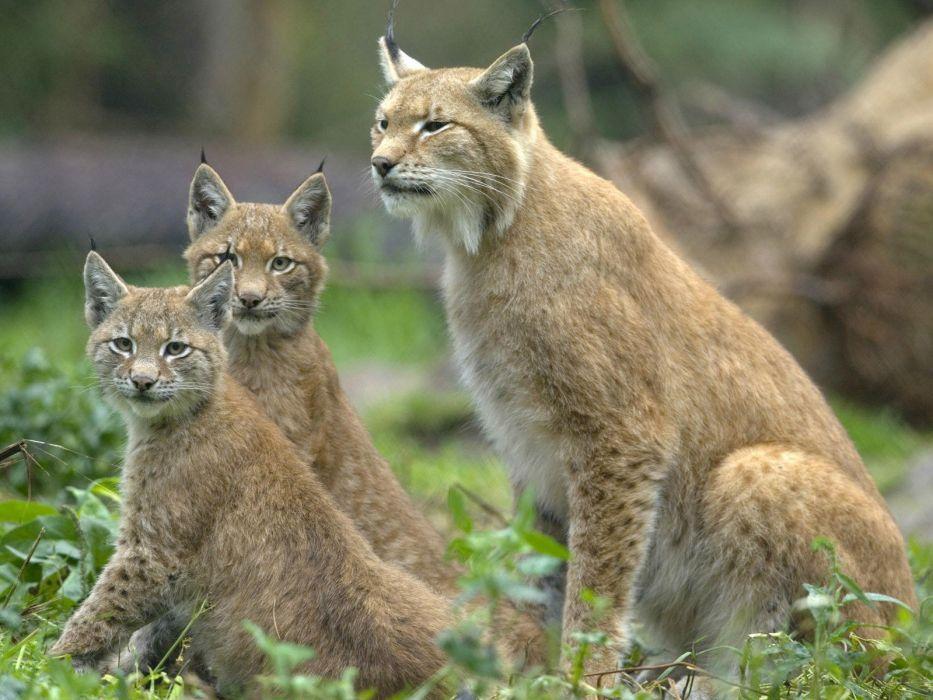 animals lynx baby animals wallpaper