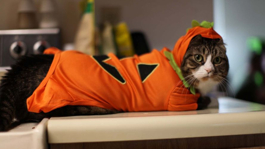cats costume animals wallpaper