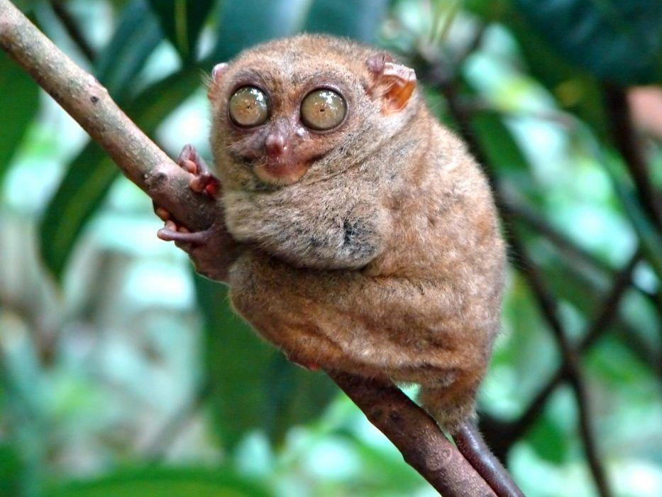 mammals tarsiers wallpaper
