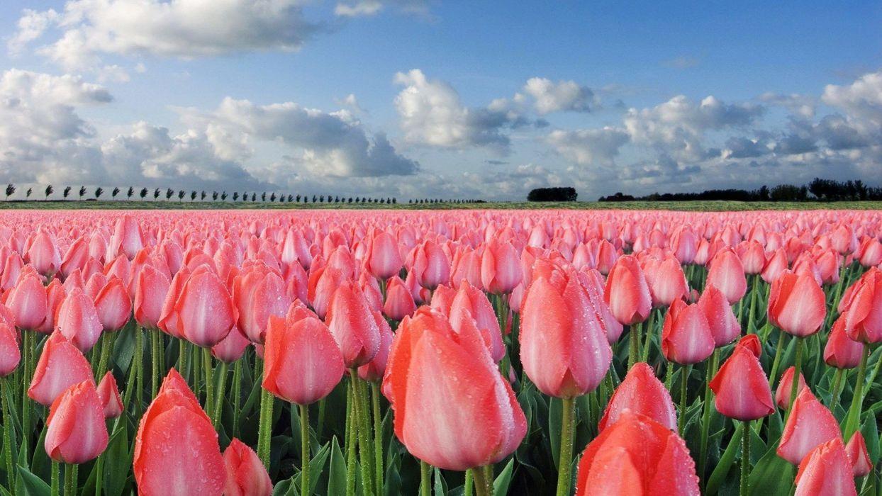 landscapes nature tulips wallpaper