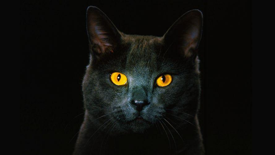 cats animals golden eyes wallpaper
