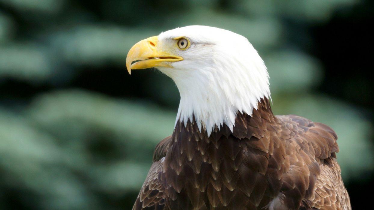 nature birds eagles wallpaper