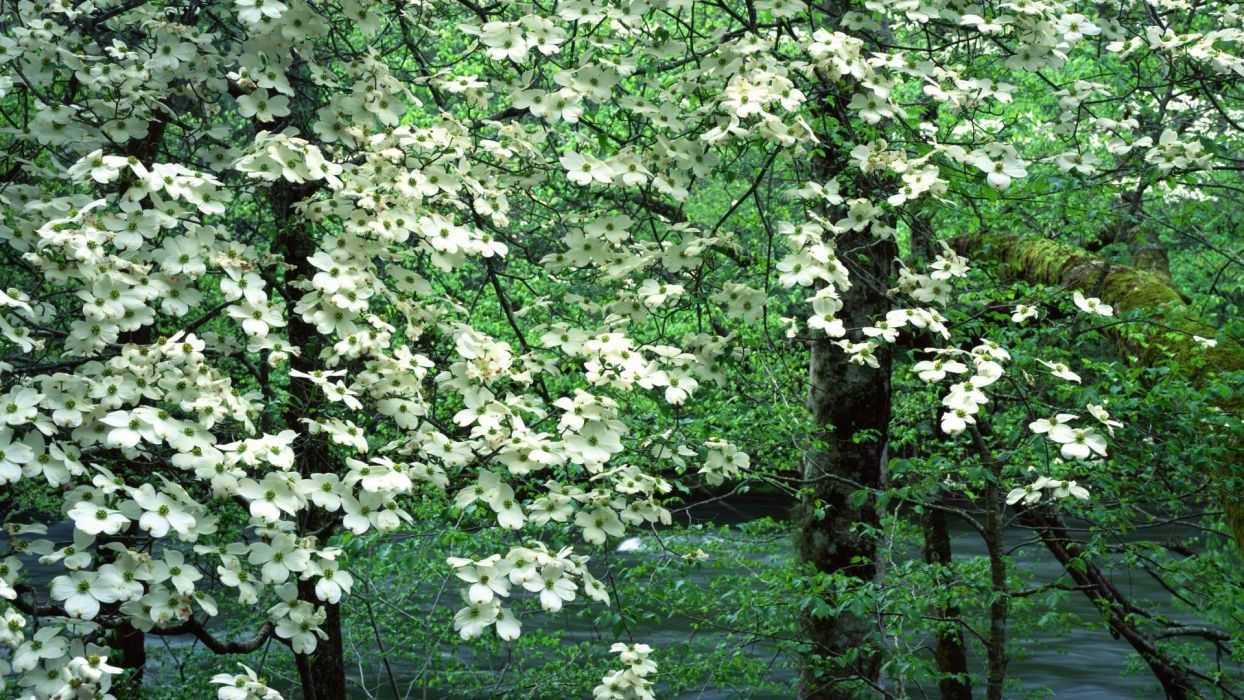 landscapes nature trees bloom Tennessee National Park Great Smoky Mountains Dogwood wallpaper