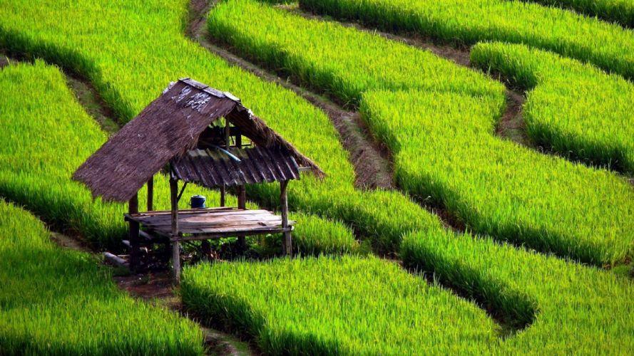 houses paddy fields wallpaper