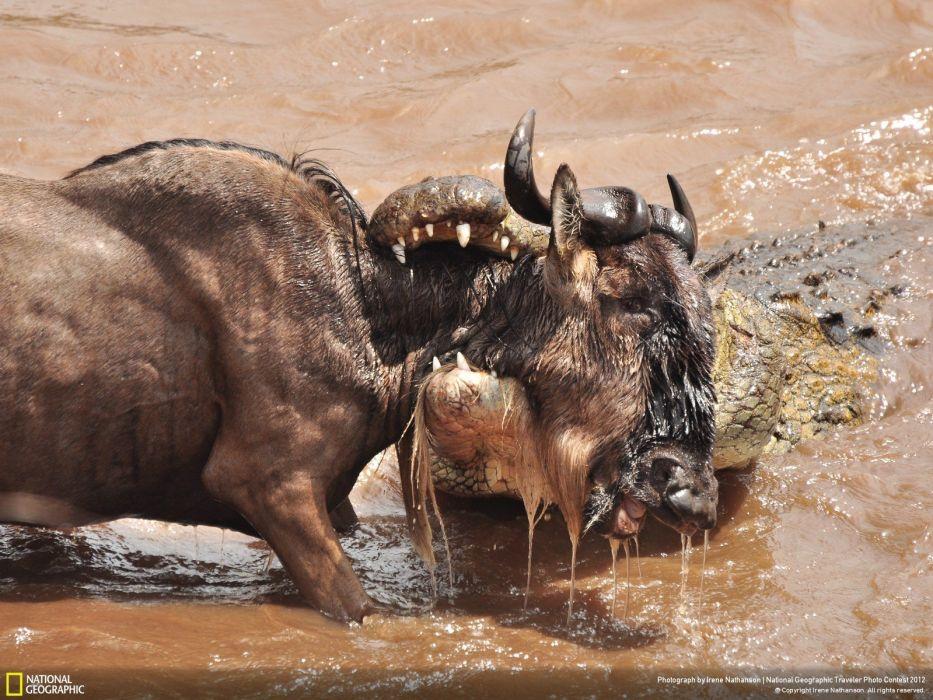 nature animals National Geographic crocodiles prey reptiles Kenya wallpaper