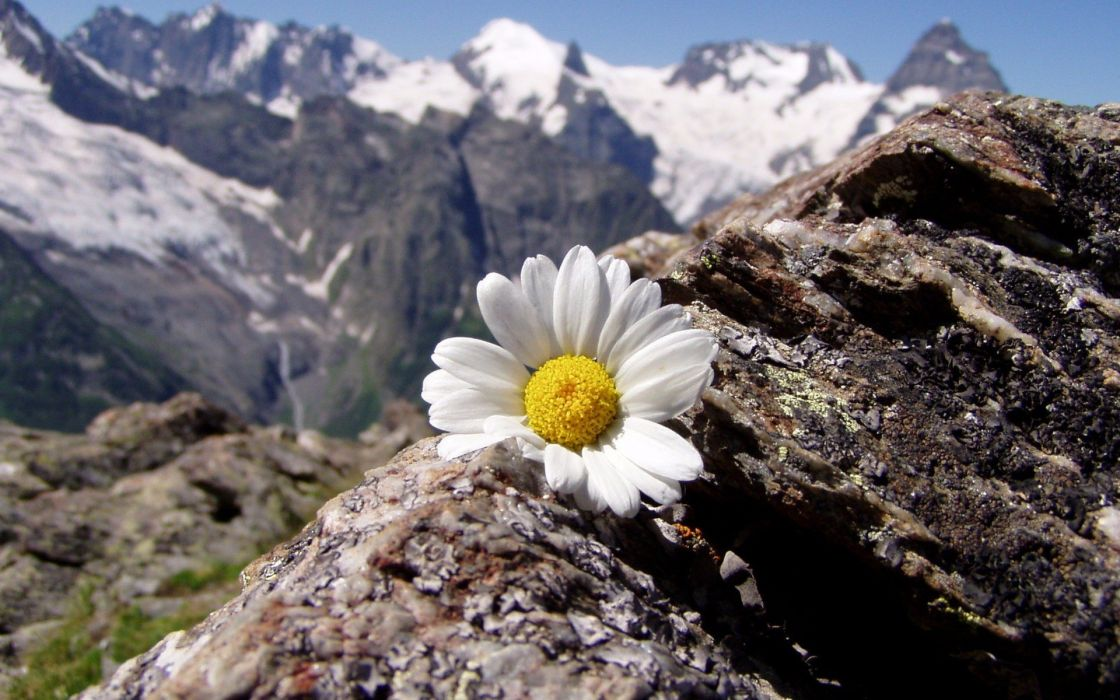 mountains landscapes flowers daisy wallpaper
