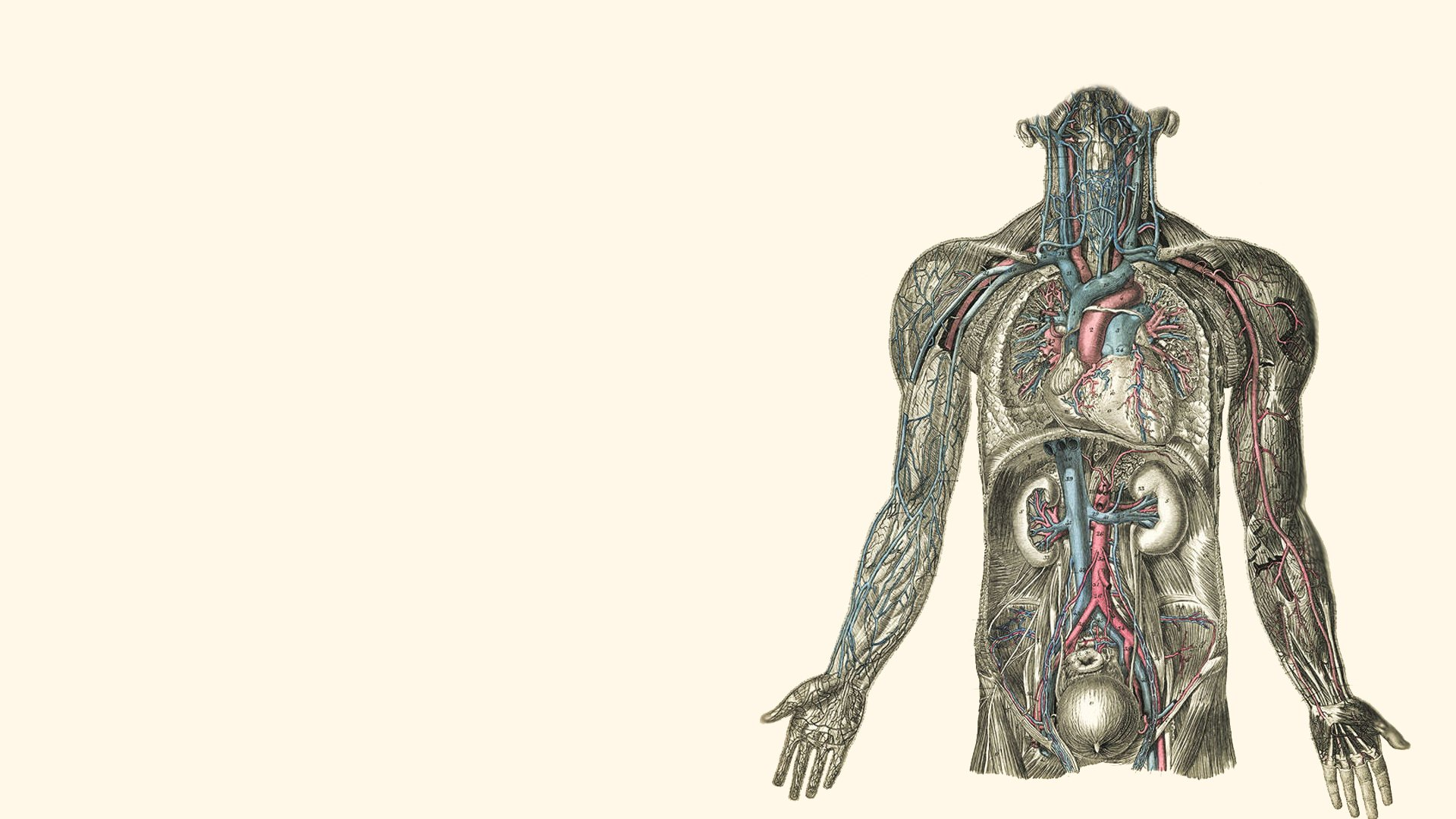 Anatomy Illustrations Kidney Hearts Human Body Wallpaper 1920x1080