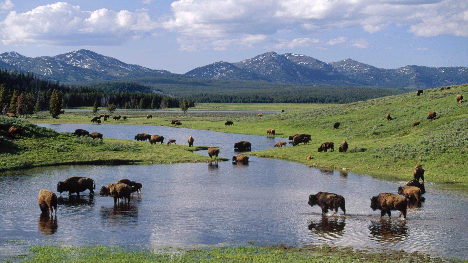 american wyoming yellowstone national park bison wallpaper