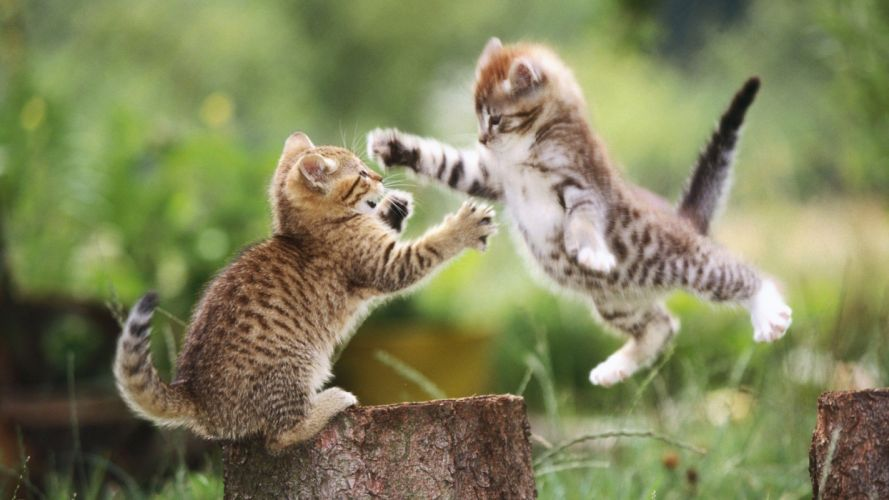 cats animals jumping outdoors kittens wallpaper