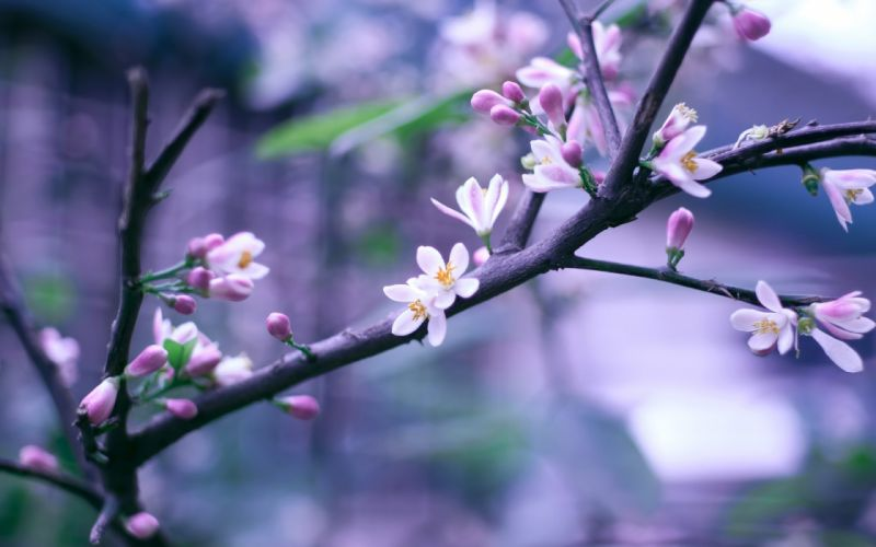 blossoms branches wallpaper