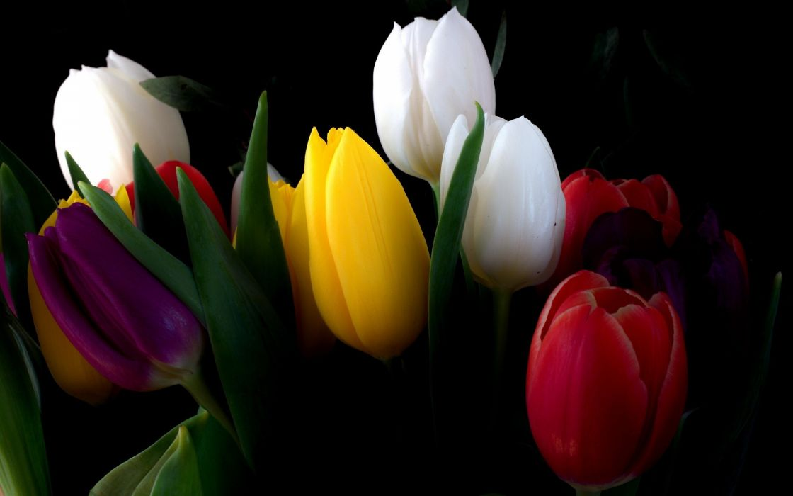 nature flowers tulips black background wallpaper