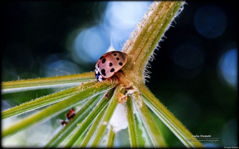 nature insects plants ladybirds wallpaper