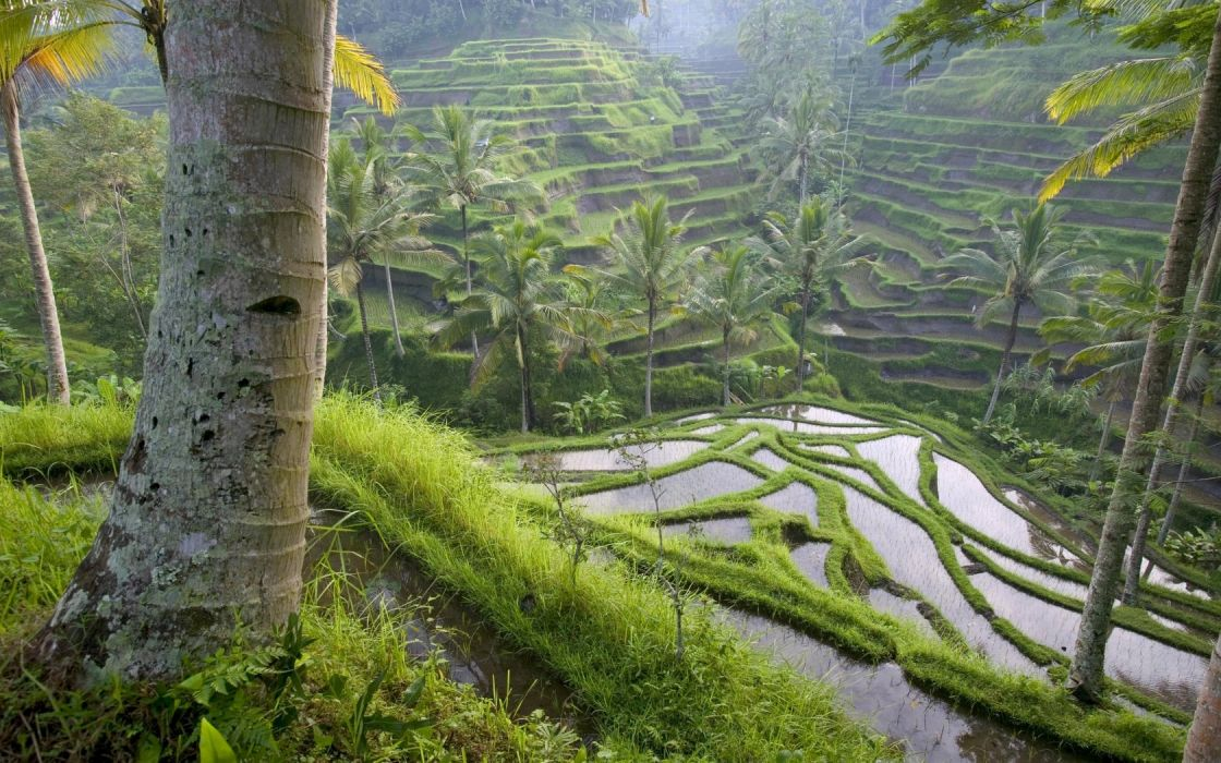 nature ricefields wallpaper