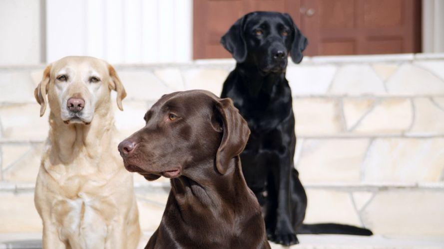 animals dogs stairways canine Labrador Retriever wallpaper