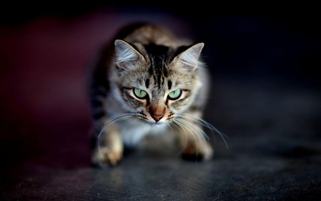 cats animals green eyes wallpaper