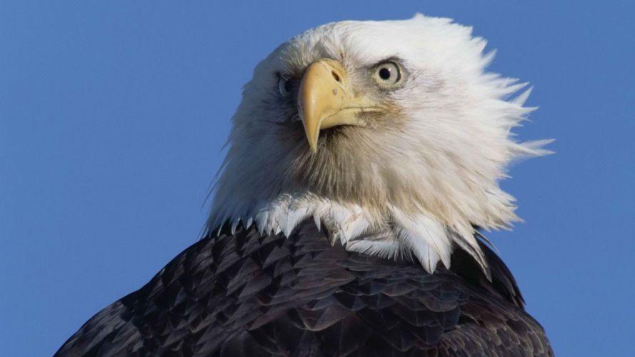 stare bald eagles wallpaper