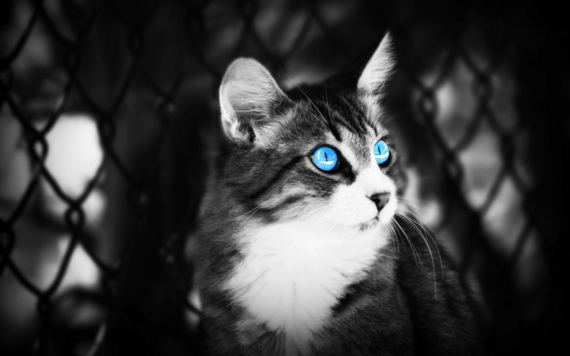 black white cats blue eyes animals depth of field selective coloring pets wallpaper