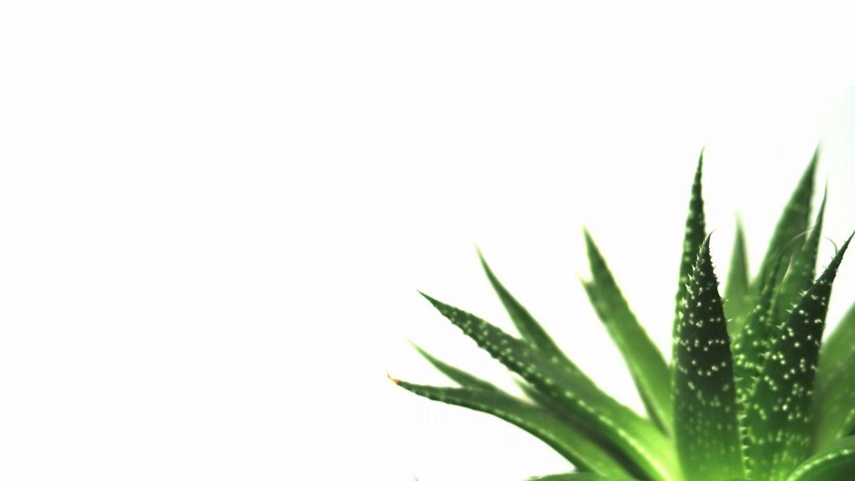 nature minimalistic plants macro simple white background succulents wallpaper