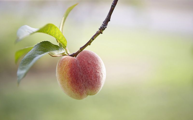 fruits leaves peaches wallpaper