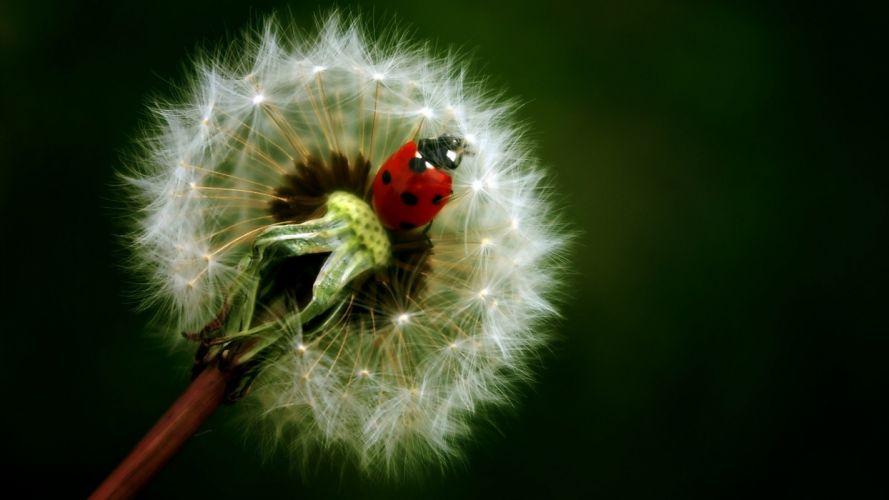 flowers insects dandelions ladybirds wallpaper