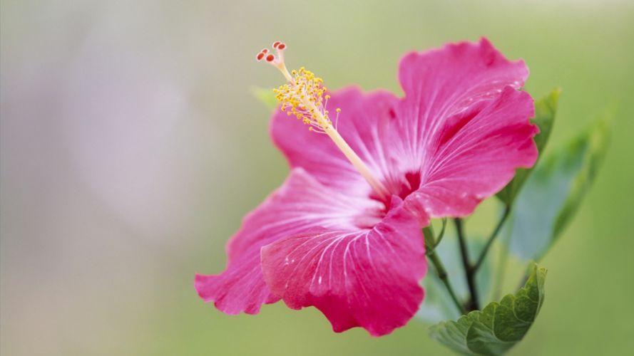 Japan hibiscus pink flowers wallpaper