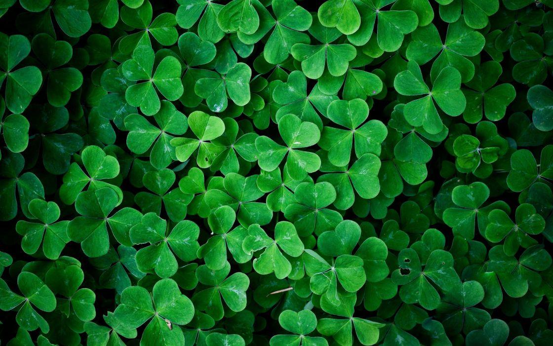 green leaves shamrock wallpaper