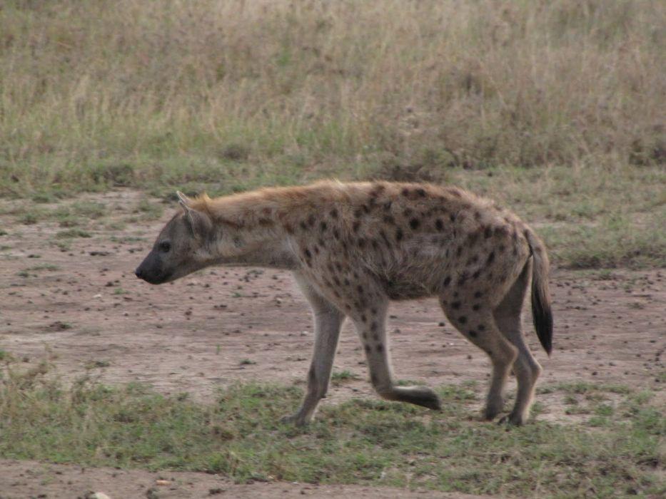 nature animals hyenas spotted hyena wallpaper