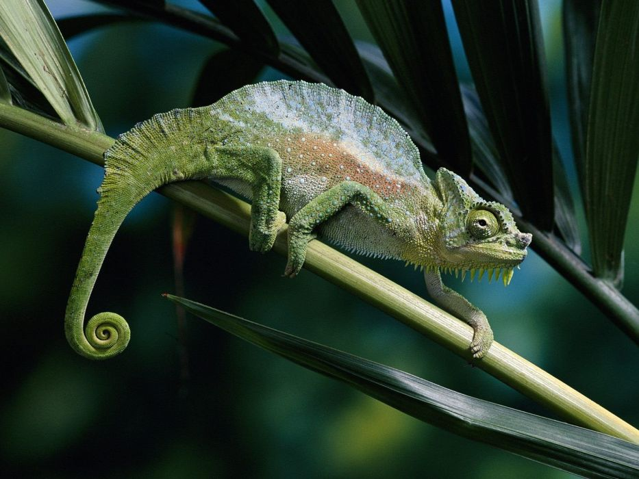 nature leaves chameleons reptiles wallpaper
