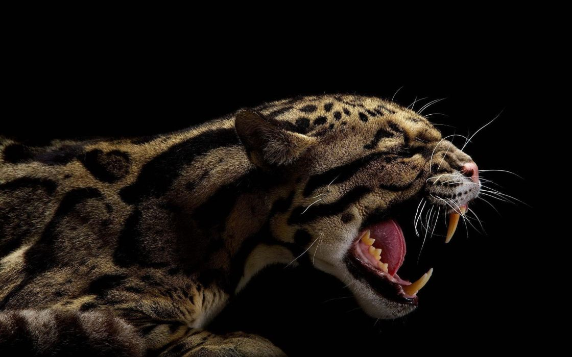 animals teeth black background clouded leopards wallpaper