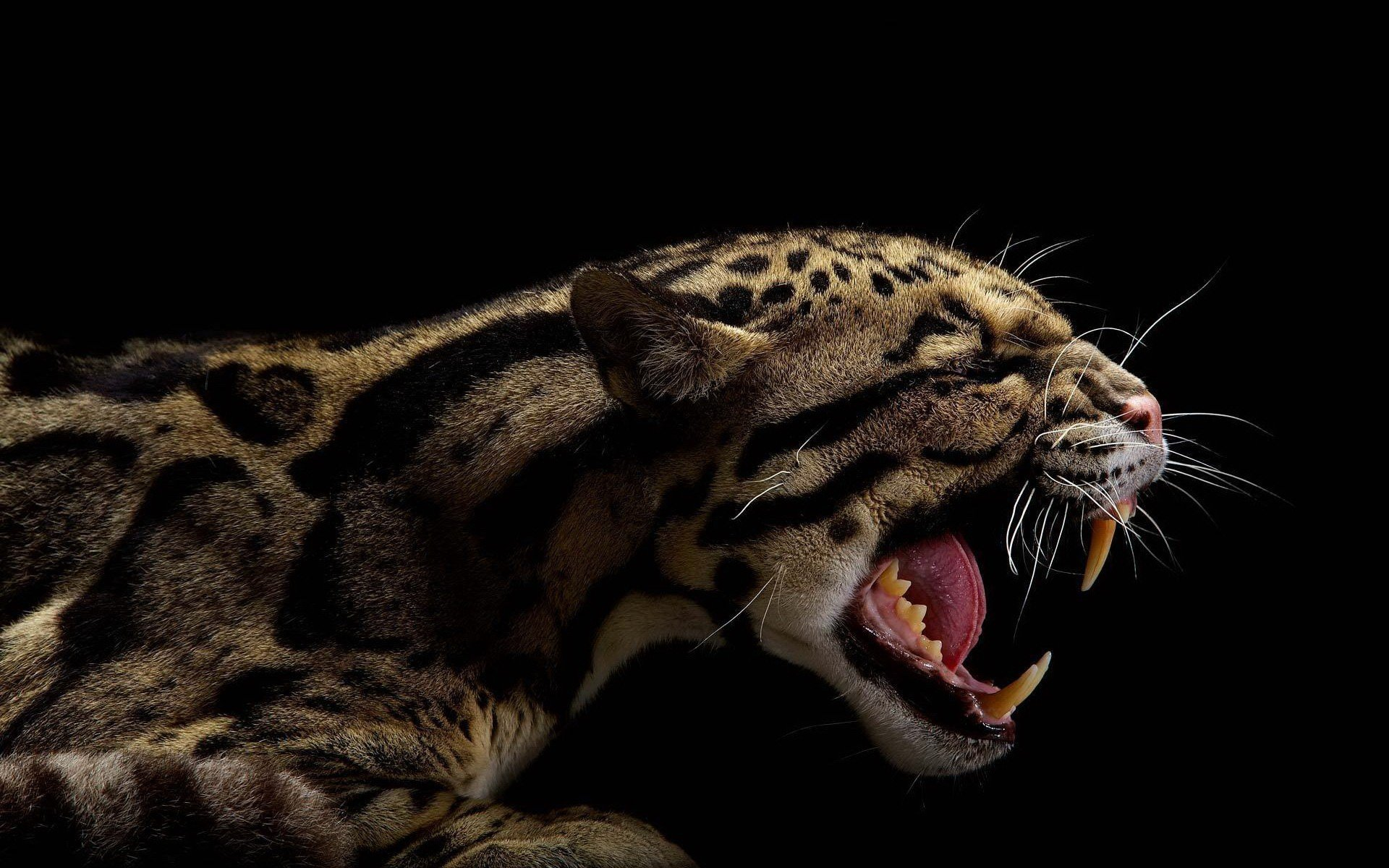 Animals teeth black background clouded leopards wallpaper - Animal black background wallpaper ...