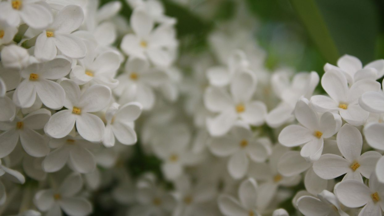 flowers lilac white flowers wallpaper