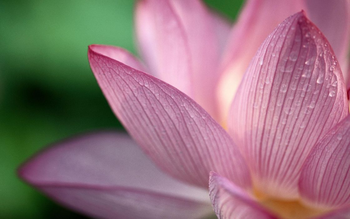 nature flowers water drops macro lotus flower wallpaper